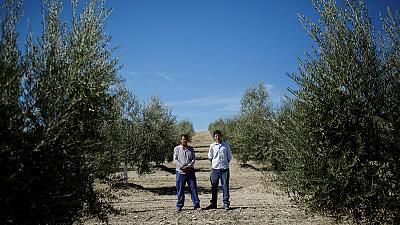 U.S. tariffs threaten livelihoods of Spain's olive-farming families