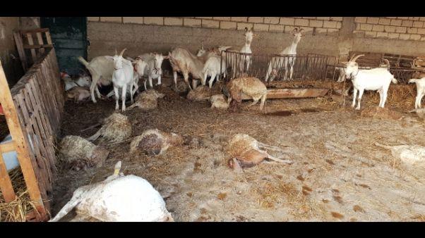 Straripa torrente, morti oltre 60 ovini