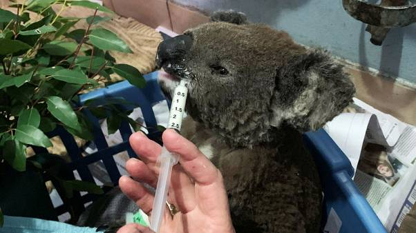 Australian bushfires wipe out half of koala colony, threaten more