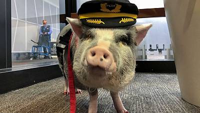 World's first airport therapy pig hogs the limelight at San Francisco airport