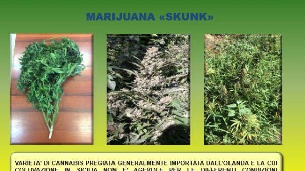 Droga: 41 kg marijuana in congelatore