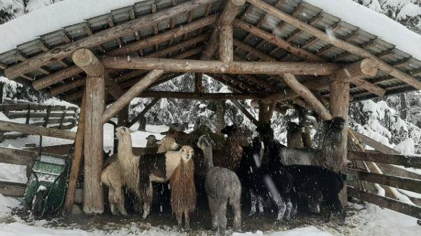 La neve coglie di sorpresa anche i lama