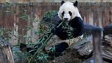 Bei Bei, Washington's eligible bachelor panda, set to move to China