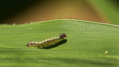 Ramping up the fight against Fall Armyworm