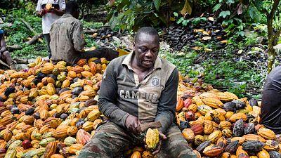 Au Cameroun, de nouvelles variétés de semences boostent le rendement du cacao et contribuent à la prospérité des cultivateurs