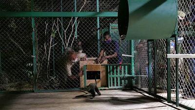 Rescued Monkeys arrive at Jeunes Animaux Confisqués au Katanga (J.A.C.K.) Sanctuary, a Pan African Sanctuary Alliance (PASA) Member