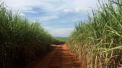انتاج السكر في البرازيل يهبط 35% مع بدء عدد أقل من المصانع الموسم