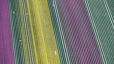 Millones de tulipanes holandeses vuelven a florecer, en un espectáculo que pocos podrán ver