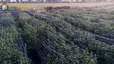 Veniva coltivata nel Lodigiano in un campo da oltre 1 ettaro