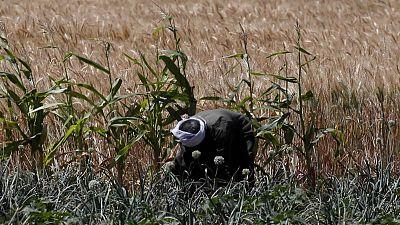 وزارة: مصر اشترت مليون طن من القمح المحلي حتى الآن