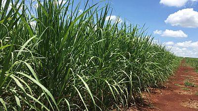 StoneX rebaja proyección de producción azúcar en región centro-sur de Brasil en 2021/22