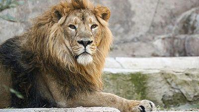 ثبوت إصابة ثمانية أسود في حديقة حيوان هندية بكوفيد-19