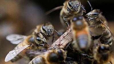 Entrenan a abejas en Países Bajos para detectar infecciones de COVID-19