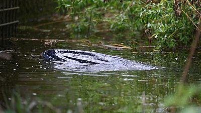 إنقاذ حوت صغير علق في نهر التيمز ببريطانيا