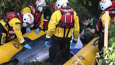 Divisan cría de ballena minke en Londres y crece el temor por su supervivencia