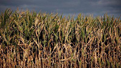 Francia ve una reducción de 10% en superficie sembrada con maíz en 2021