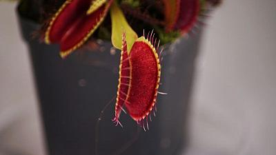 Singapore researchers control Venus flytraps using smartphones