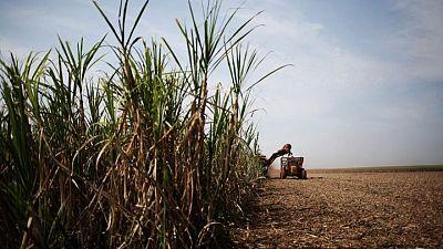Ingenios brasileños reducen parte de producción azúcar y aumentan volúmenes etanol: Datagro