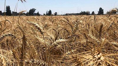 وزارة: مصر اشترت 3.4 مليون طن من القمح منذ بداية موسم الحصاد المحلي