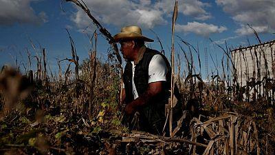 Juez mexicano rechaza intento de industria por detener prohibición a maíz transgénico y glifosato
