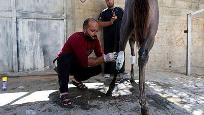 مع صمود وقف إطلاق النار في غزة.. الفلسطينيون يعالجون الحيوانات المصابة