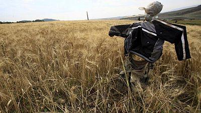 محصول الحبوب الجزائري قد يهبط 35-40% هذا العام بسبب الجفاف