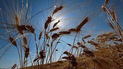 تونس تتوقع حصاد 1.07 مليون طن من القمح الصلد