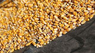 GRANOS-Maíz se encamina a caída semanal de 10% por lluvias favorables a la cosecha