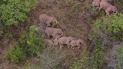 أفيال تتجول في أنحاء الصين.. وواحد يتخلف عن القطيع
