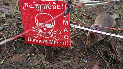 Cambodia deploys new batch of rat recruits to sniff out landmines