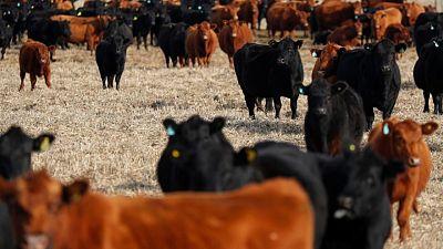الأرجنتين تقترب من اتفاق لاستئناف صادرات لحوم الأبقار