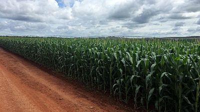 Cosecha de maíz de Brasil en 2020/2021 caería bajo 94 million de toneladas: sondeo Reuters