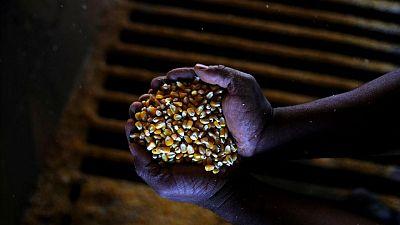 Heladas dañarían cosecha de maíz en Brasil, menor peligro para caña de azúcar y café