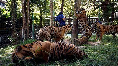 حديقة نمور تايلاندية تتوق للعودة إلى الحياة مع عودة السائحين
