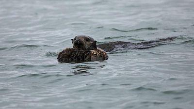 ولائم قضاعات البحر في كاليفورنيا تلعب دورا في محاربة تغير المناخ