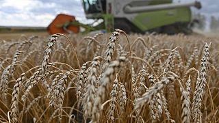 Exportaciones de granos Rusia en 2020/21 superarán 48 millones de toneladas: Ministerio Agricultura
