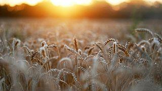 Consultora IKAR baja estimación de cosecha de trigo a Rusia en 2021 a 81,5 millones de toneladas