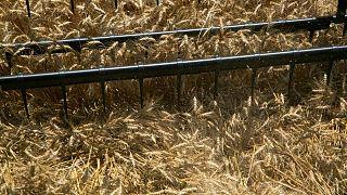 GRANOS-Trigo cierra en alza y sobre los 7 dólares, arrastra al maíz y la soja