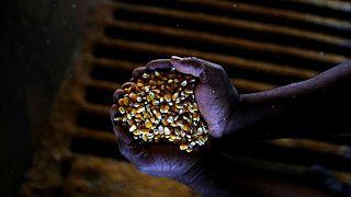 Productores de maíz de Brasil cosechan el 30% de cultivos de centro-sur del país: AgRural