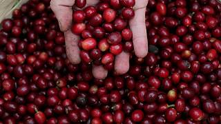 Heladas afectan a cultivos de caña, café y naranja de Brasil: experto en meteorología