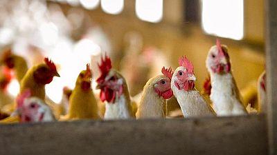 India reporta primera muerte humana por gripe aviar