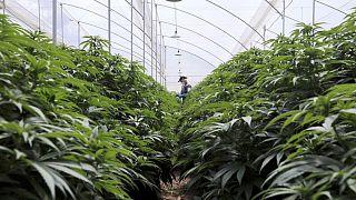 Colombia autoriza la exportación de flor seca de cannabis con fines medicinales