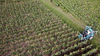 Francia prevé que la producción de vino, afectada por el clima, caiga a su mínimo histórico