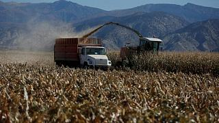 Calificación del maíz estadounidense mejora a un 64% de buena a excelente; soja se mantiene