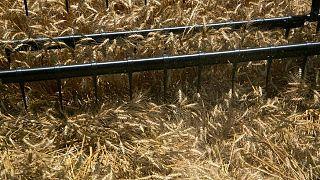 GRANOS-El trigo en Chicago se estabiliza tras alzas y a la espera de datos de EEUU