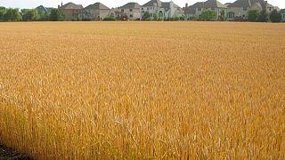 GRANOS-Trigo en Chicago alcanza máximo de ocho años debido a la preocupación por la oferta