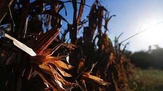 Maíz supera a soja como principal cultivo de Argentina, impulsado por menores impuestos y nueva tecnología