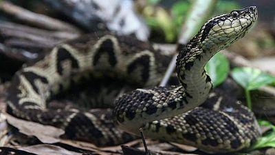 Brazilian viper venom may become tool in fight against coronavirus, study shows