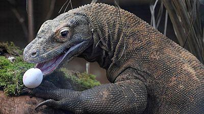 Atún se recupera, pero aumento del nivel del mar pone en peligro al dragón de Komodo: reporte