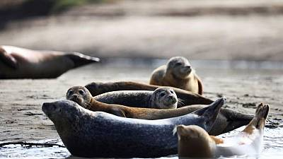 River Thames: Britain's famous seal population has dipped in numbers